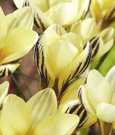 Crocus 'Gipsy Girl'. Large, fragrant, yellow flowers with purple-striped outer petals in February and March and slender, strap-shaped, dull green leaves. These spectacular, striped, spring-flowering bulbs look great emerging from a sunny rock garden or raised bed. To achieve the best results plant in early autumn in bold, naturalistic drifts 10cm (4in) deep in gritty, well-drained soil.