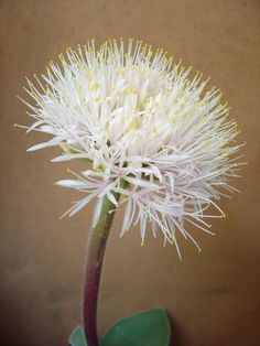 The genus Haemanthus