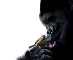 "A gorilla is one of the strongest animals in the kingdom -- they're able to lift 10 times their own body weight -- but here, this ape delicately handles this little bird for this heartwarming snap before appearing on Nat Geo Wild�s ""Unlikely Animal Friends."""