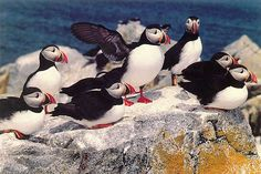 Atlantic Puffins in their nesting habitat - Machias Seal Island - Puffin tours to Machias Seal Island from Cutler, Maine - Bold Coast Charter Company offers puffin trips and other coastal sightseeing excursions on the downeast coast of Maine.