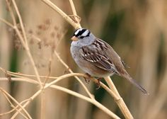 White-Crowned Sparrow (Zonotrichia leucophrys) / Image by Tom, Flickr profile 'Seabamirum' (Creative Commons Attribution 2.0 Generic license)