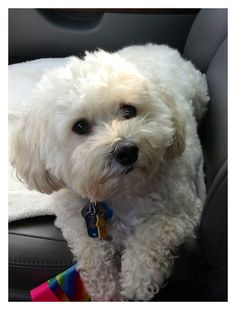 Maltipoo Dog Haircuts further Adult Maltipoo Haircuts, Maltipoo Dog, Dog Haircuts, Maltese Dogs, Dogs And Puppies, Teacup Maltese, Labradoodle, Doggies, Funny Dogs