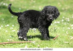 flat coated retriever puppy