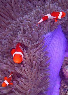 ocellaris clownfish by p@ragon, via Flickr