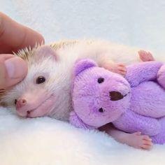 Look at this hedgehog cuddling his bear ❤ small balls of hap Cute Animal Videos, Cute Animal Pictures, Cute Little Animals, Cute Funny Animals, Baby Hedgehog, Cute Creatures, Animals Beautiful, Animals And Pets, Fur Babies