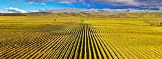 Sauvignon as far as the eye can see; it can only be Marlborough.