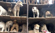 A DOG meat vendor has died after shooting HIMSELF with a poisoned dart he had prepared to slay defenceless puppies.