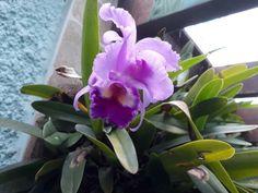 Linda da minha orquídea