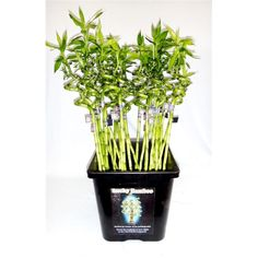 Lucky Bamboo in Vial – 600mm Curly Cane