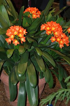 Clivia Indoors for the winter Caring For and Blooming Potted Clivia - Add a bit of color to your garden with potted Clivia (Clivia miniata). These South African natives ar. Tropical Landscaping, Landscaping Plants, Tropical Garden, Tropical Plants, Garden Plants, Container Plants, Container Gardening, African Plants, Shade Plants