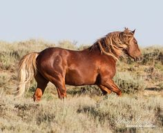 This wild stallion is running toward another stallion who is too close to his family in the Salt Wells Creek Herd Area in Wyoming. Fine Art Wild Horse Photograph by Carol Walker. #horse #equine
