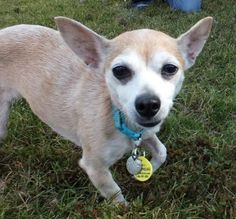 Petango.com – Meet Evelyn, a 9 years 1 month Chihuahua, Short Coat available for adoption in FRANKLIN, TN
