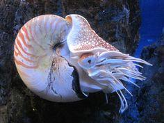 Nautilus http://en.wikipedia.org/wiki/Nautilus
