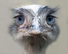 Ostriches - Nature Animals Wild Birds Ostrich