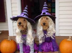 Beware of Halloween costumes for dog. See more dog costumes and Halloween party ideas at one-stop-party-id Fun Halloween Games, Pet Halloween Costumes, Pet Costumes, Dog Halloween, Halloween Party, Happy Halloween, Irish Terrier, Airedale Terrier, Fox Terriers