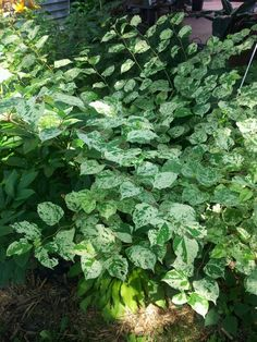 Fallopia Shade Garden, Herbs, Shades, Plants, White Gardens, Herb, Sunnies, Plant, Eye Shadows