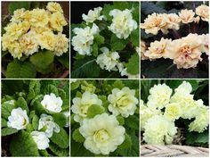Barnhaven double primrose yellow and cream