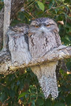 A pair of Tawny Frogmouths in a suburban garden tree