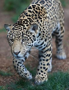 ON THE PROWL by WisteriaLane Jaguars are the largest cats in the Western Hemisphere and the third largest overall. Only lions and tigers are bigger. Nature Animals, Animals And Pets, Wild Animals, Types Of Tigers, Big Cat Family, Clouded Leopard, San Diego Zoo, Cool Pets, Big Cats