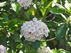 Grown for its showy late spring and summer flowers and attractive, evergreen foliage, mountain laurel is a colorful asset to landscapes. Find additional mountain laurel information in this article.