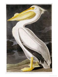 American White Pelican, Giclee Print; by John James Audubon