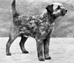Ch Blister, whelped 1929. By Revenge x Causey Bridget.