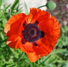Image from http://susanguagliumi.files.wordpress.com/2012/05/poppy1.jpg.