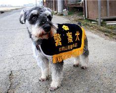 和歌山県警属託警察犬  ミニチュアシュナウザーの  クゥちゃん(オス、3才)  警察犬登録名:クリーク号
