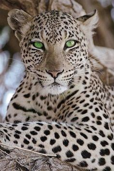 zorpia.com  - natureza - natural - nature - naturaleza - beauty - animais - animals - onça