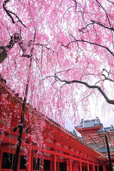 桜  sakura. cherry blossoms kyoto japan