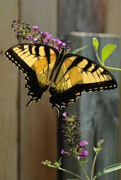 Yellow Tiger Swallowtail on Purple Buddleia Blossoms (Butterfly Bush)