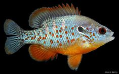 Orangespotted Sunfish - Rarely reaches over 5 inches. Perfect size for the home aquarium. Aquarium Setup, Home Aquarium, Aquarium Ideas, Underwater Creatures, Ocean Creatures, Turtle Aquarium, South American Cichlids, Rare Fish, Lure Making
