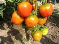 teelt tips voor tomaat