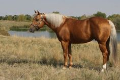 Palomino Quarter Horse stallion; reining and roping horse, working cow horse