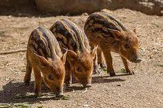 Small red hogs http://ift.tt/2owwCmc