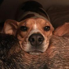 My Labraheeler Lukas Lukas Puppies Dogs Cute Animals