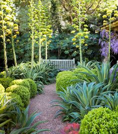 boxwood and flowering agave desmettiana 'El Miradores Gold'