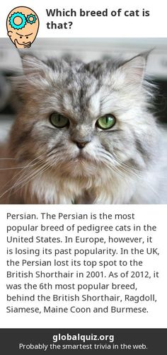 Which breed of cat is that? Persian! The Persian is the most popular breed of pedigree cats in the United States. In Europe, however, it is losing its past popularity. In the UK, the Persian lost its top spot to the British Shorthair in 2001. As of 2012, it was the 6th most popular breed, behind the British Shorthair, Ragdoll, Siamese, Maine Coon and Burmese.