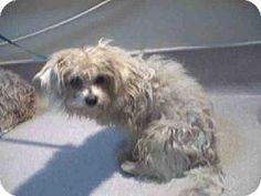 Pasadena, CA - Maltese Mix. Meet A369384, a dog for adoption. http://www.adoptapet.com/pet/12079778-pasadena-california-maltese-mix