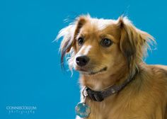 CASSIE is an adoptable Dachshund Dog in Homewood, AL.  Cassie is small, approx 18 lbs Long Haired Dachshund mix.  She is a sweet dog... just a little shy at first.  Hangs back from the rowdy dogs wher...