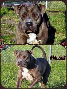 MALONE is a 4 year old American Bulldog/Pitbull mix