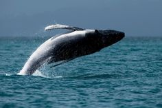 off Hamilton Island, Australia Hamilton Island, Across The Universe, Beautiful World, Beautiful Things, Ocean Creatures, Underwater World, Ocean Life, Great Pictures, Marine Life