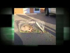 Visit: http://officialpestcontrolhanford.com/ Animal & Rodent Control 559-248-1155 Serving Hanford California 93230.