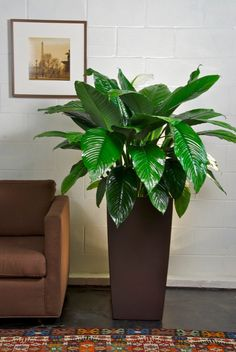 Your Online Indoor Plants Nursery and Pots Store. The most convenient way to buy House Plants and Office Plants In Houston. Large Indoor Planters, Indoor Trees, Indoor Plant Pots, Indoor Garden, Potted Plants, House Plants Decor, Plant Decor, Lower Lights, Peace Lily