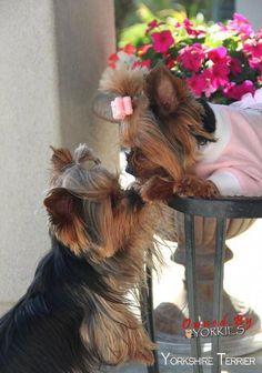 """Excellent """"yorkshire terrier puppies"""" info is readily available on our web pages. Yorkies, Yorkie Puppy, Yorshire Terrier, Silky Terrier, Bull Terriers, Chien Yorkshire Terrier, I Love Dogs, Cute Dogs, Animals And Pets"""