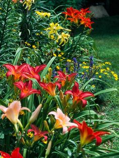 Daylillies, they grow well in texas! And they are bulbs! Too easy?