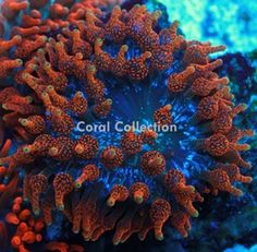 This is by far, the most exclusive Bubble Tip Anemone (Entacmaea quadricolor) you will ever have a chance to grace your tank. Nothing compares to t. Coral Reef Aquarium, Saltwater Aquarium Fish, Saltwater Tank, Coral Frags, Live Coral, Bubble Tip Anemone, Coral Reef Animals, Mermaid Parties, Salt And Water