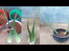 How to grow aloe vera from leaf. Learn more here , how to grow aloe vera plant from a leaf cutting Grow aloe vera from cuttings How to grow aloe vera from a . Propagate Aloe Vera, Replanting Succulents, Succulents Diy, Cactus, Feuille Aloe Vera, Plantar Aloe Vera, Aloe Vera Plant Indoor, Growing Aloe Vera, Vegetable Gardening