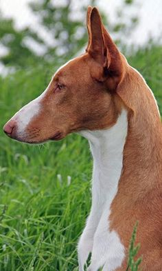 ibizan hound photo | Ibizan Hound Dog Jigsaw Puzzle for Android