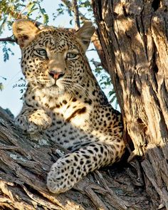 Leopard  Animal Photography  Leopard Print by AroundTheGlobeImages, $30.00